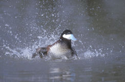 Ruddy duck, Oxyura jamaicensis Stock Image