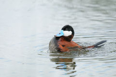 Ruddy Duck (Oxyura jamaicensis) Stock Photography