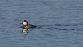 Ruddy Duck (Oxyura jamaicensis) Royalty Free Stock Photo