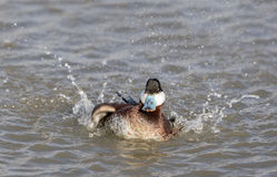 Ruddy Duck Oxyura jamaicensis Wading with Water Splash. Royalty Free Stock Image