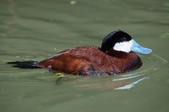 Ruddy duck Oxyura jamaicensis. Royalty Free Stock Photos