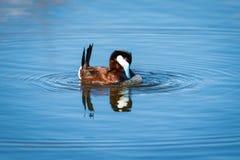 Ruddy Duck & x28; Oxyura jamaicensis& x29; Royalty-vrije Stock Afbeelding