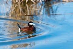 Ruddy Duck & x28; Oxyurajamaicensis& x29; Royaltyfri Foto