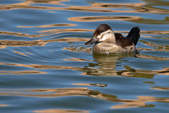Ruddy Duck On Reflective Water Stock Photo