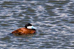 Ruddy Duck Royalty Free Stock Photo