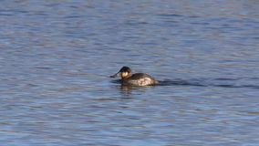 Ruddy Duck stock video footage
