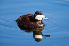 Ruddy Duck Swimming in a Lake Royalty Free Stock Photo