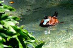 Ruddy Duck swimming in a pond. Stock Photos
