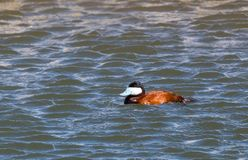 Ruddy Duck Stock Image