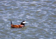 Ruddy Duck Stock Photo