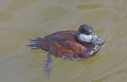 Ruddy Duck in a wetland Pond Royalty Free Stock Image
