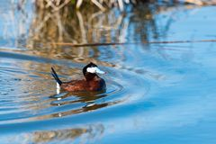 Ruddy Duck & x28; Oxyurajamaicensis& x29; Royaltyfri Foto