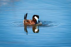 Ruddy Duck & x28; Oxyurajamaicensis& x29; Royaltyfri Bild