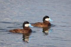 Ruddy Ducks Fotografie Stock