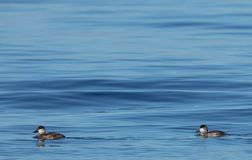 Ruddy Ducks with Water Background royalty free stock photo