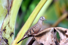 Ruddy-ground Dove. Small ground dove perched on a banana tree Stock Photos
