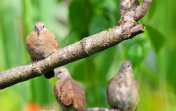 Ruddy Ground Dove Fotografie Stock