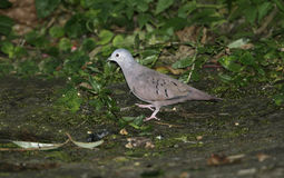 Ruddy ground-dove, Columbina talpacoti Stock Images