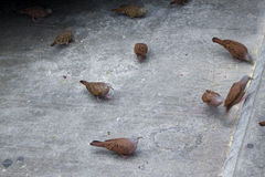Ruddy ground dove, Columbine talpacoti eating on the street floor. Common dove on the street eating corn. Royalty Free Stock Image