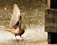 Ruddy Ground Dove, Weasels, Birdie Stock Photography