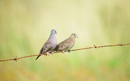 Ruddy ground doves royalty free stock images