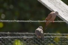 Ruddy Ground Doves masculino y femenino en el cercado del alambre Foto de archivo libre de regalías