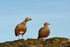 Ruddy Headed Geese Stock Photos