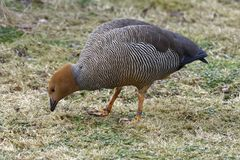 Ruddy-headed Goose. Chloephaga rubidiceps Feeding on grass royalty free stock image