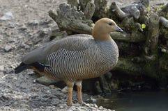 Ruddy-headed Goose Stock Photos