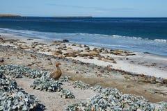 Ruddy Headed Goose - Falkland Islands Photo libre de droits