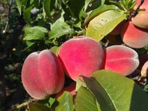Juicy peaches clung to a tree branch royalty free stock photo
