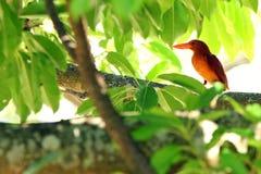 Ruddy Kingfisher. A very beautiful and rare bird Royalty Free Stock Photos