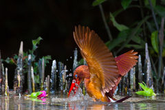 Free Ruddy Kingfisher Royalty Free Stock Images - 57880289