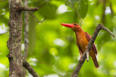 Ruddy Kingfisher - front profile. A Marvelous Ruddy Kingfisher perch on a open branch Royalty Free Stock Photos