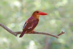 Ruddy Kingfisher Halcyon coromanda Birds of Thailand Stock Image