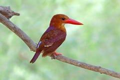 Ruddy Kingfisher Halcyon coromanda Birds of Thailand Stock Photography