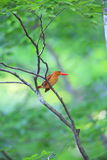 Ruddy kingfisher Stock Images