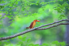 Ruddy kingfisher Stock Photos