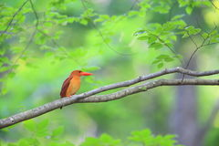 Ruddy kingfisher Royalty Free Stock Photo