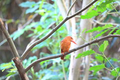Ruddy Kingfisher Royalty Free Stock Image