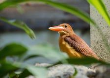 Ruddy Kingfisher Halcyon coromanda Royalty Free Stock Images