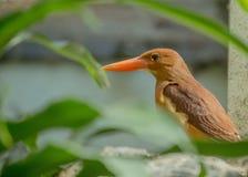 Ruddy Kingfisher Halcyon coromanda Stock Image