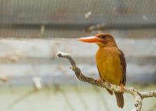 Ruddy Kingfisher Halcyon coromanda Stock Photography