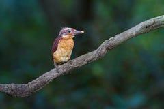 Ruddy Kingfisher Juvenile Stock Foto