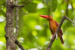 Ruddy Kingfisher - perfil delantero Fotos de archivo libres de regalías