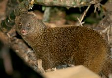 The ruddy mongoose Herpestes smithii on a garbage dump. In the country Stock Image