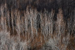 Ruddy Reeds Fotografia Stock