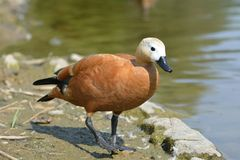 Ruddy shel duck. By the lake Stock Photography