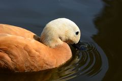 Ruddy shel duck in water. Ruddy shel duck swimming on a lake Royalty Free Stock Photos