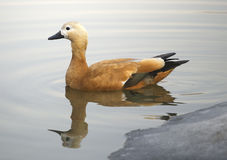 Ruddy sheldduck Royalty Free Stock Photography